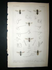 Cuvier C1835 Antique Hand Col Print. Aphritis, Merondon, Xylota 111 Insects